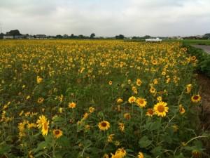 休耕田のひまわり畑